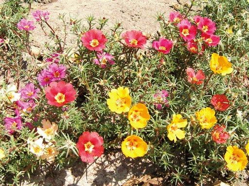 Многолетние цветы портулак