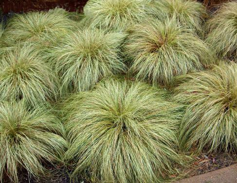 'Carex comans Frosted Curls'