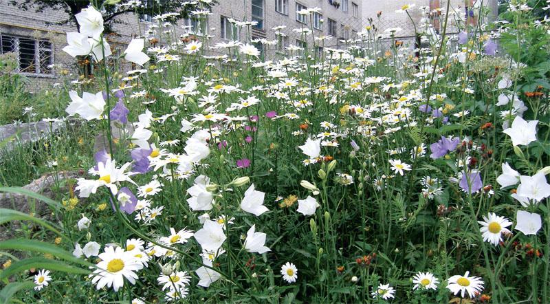 Цветы мавританский газон