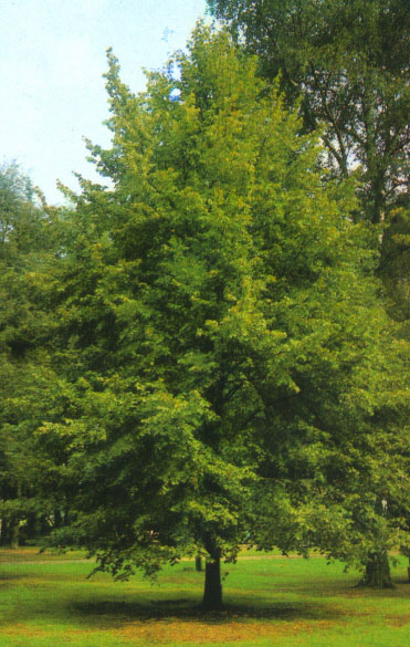 Декоративное качество деревьев